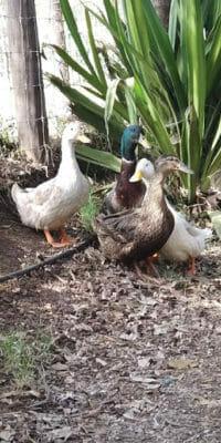 Patos libres en Rancho Guacatay