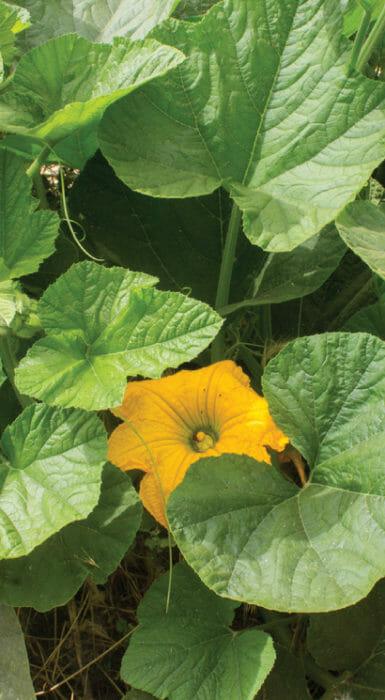 Flor de calabaza de la cosecha de Rancho Guacatay