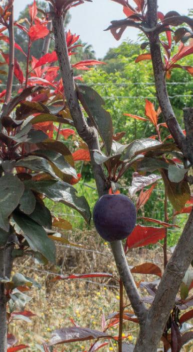 Ciruela de Rancho Guacatay