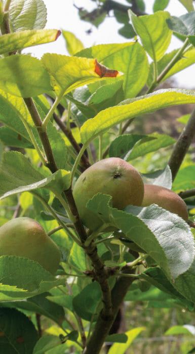 Manzanas organicas de Rancho Guacatay
