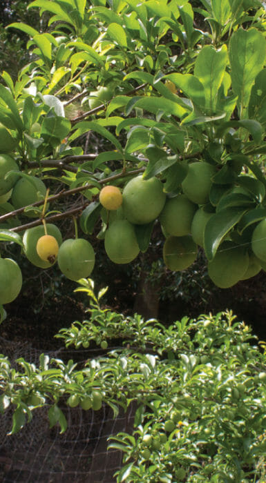 Limas en fruto de Rancho Guacatay