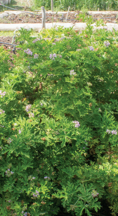 Cosecha de Rancho Guacatay
