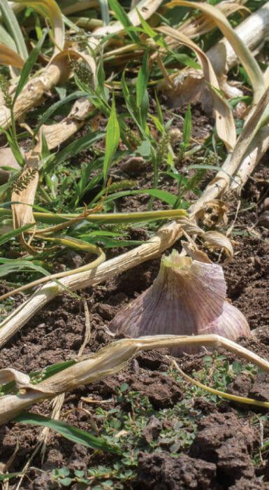 Cebollines de Rancho Guacatay