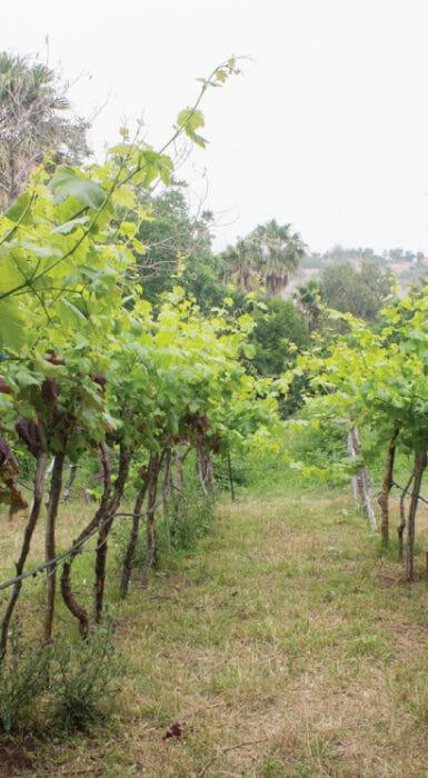 Vid de Rancho Guacatay