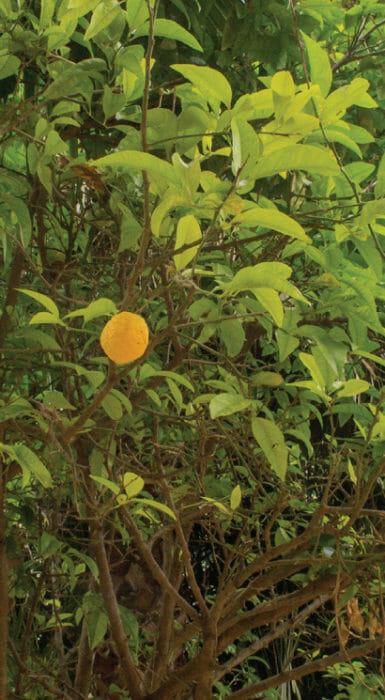 Rancho Guacatay Lima en fruto