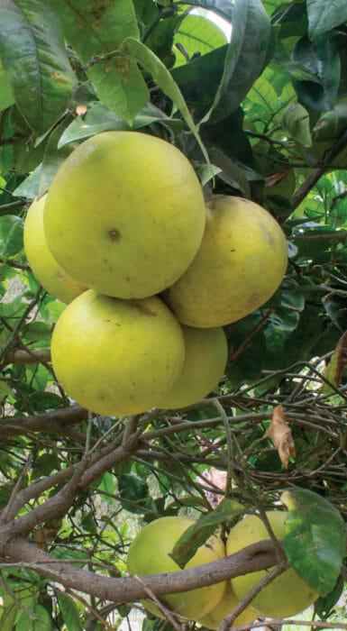 Guayabas de Rancho Guacatay