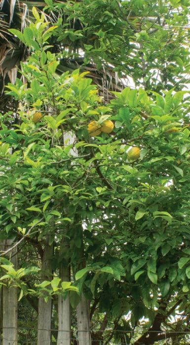 Frutos de lima de Rancho Guacatay