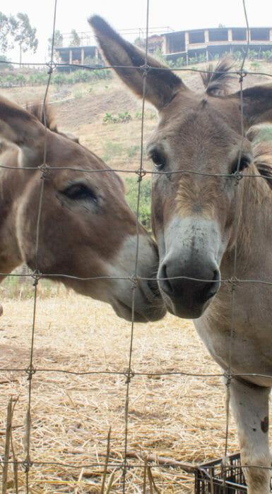 burro mamooth en Rancho Guacatay