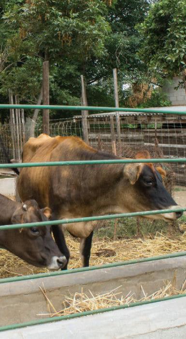 vaca pardo suiza en Rancho Guacatay