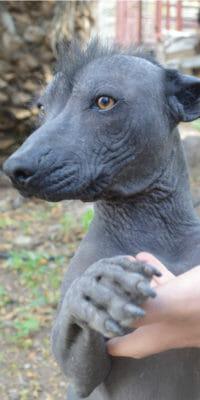 Perro xoloitzcuintle de Rancho Guacatay