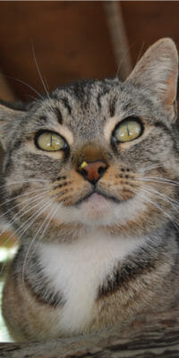 Gato silvestre de Rancho Guacatay