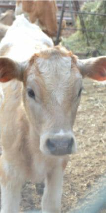 Vaca pardo suiza de Rancho Guacatay