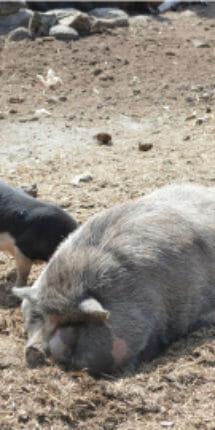Cerdo de Rancho Guacatay