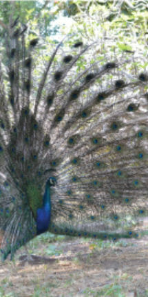 Pavorreal con plumaje de Rancho Guacatay