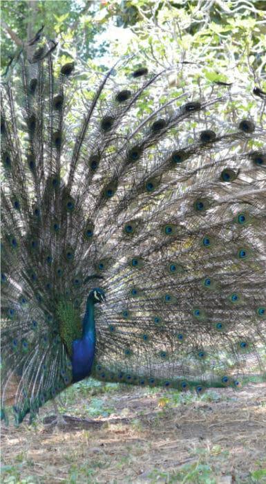 Pavorreal con su plumaje en Rancho Guacatay