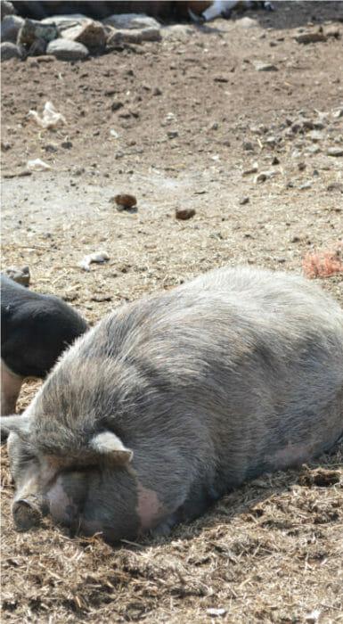 Cerdo Rancho Guacatay